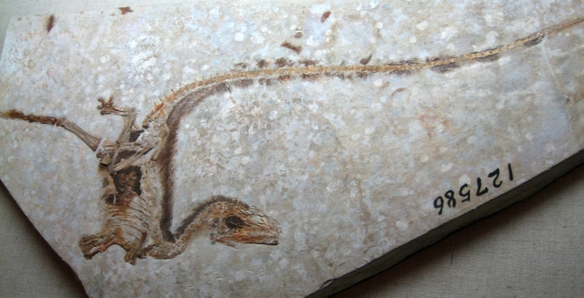 Sinosauropteryxfossil image